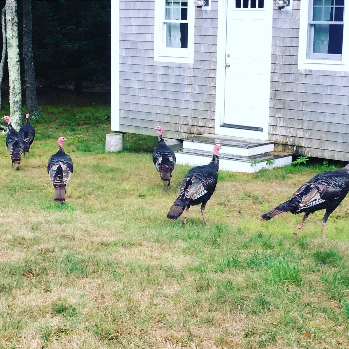 Reportan aumento de ataques de pavos salvajes en Connecticut