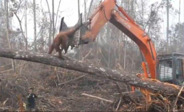 Orangután Indonesia Borneo Excavadora Bosque Video
