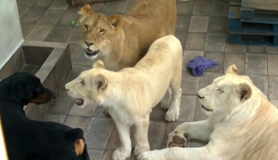 Profepa rescató a tres leones de una azotea en Iztacalco
