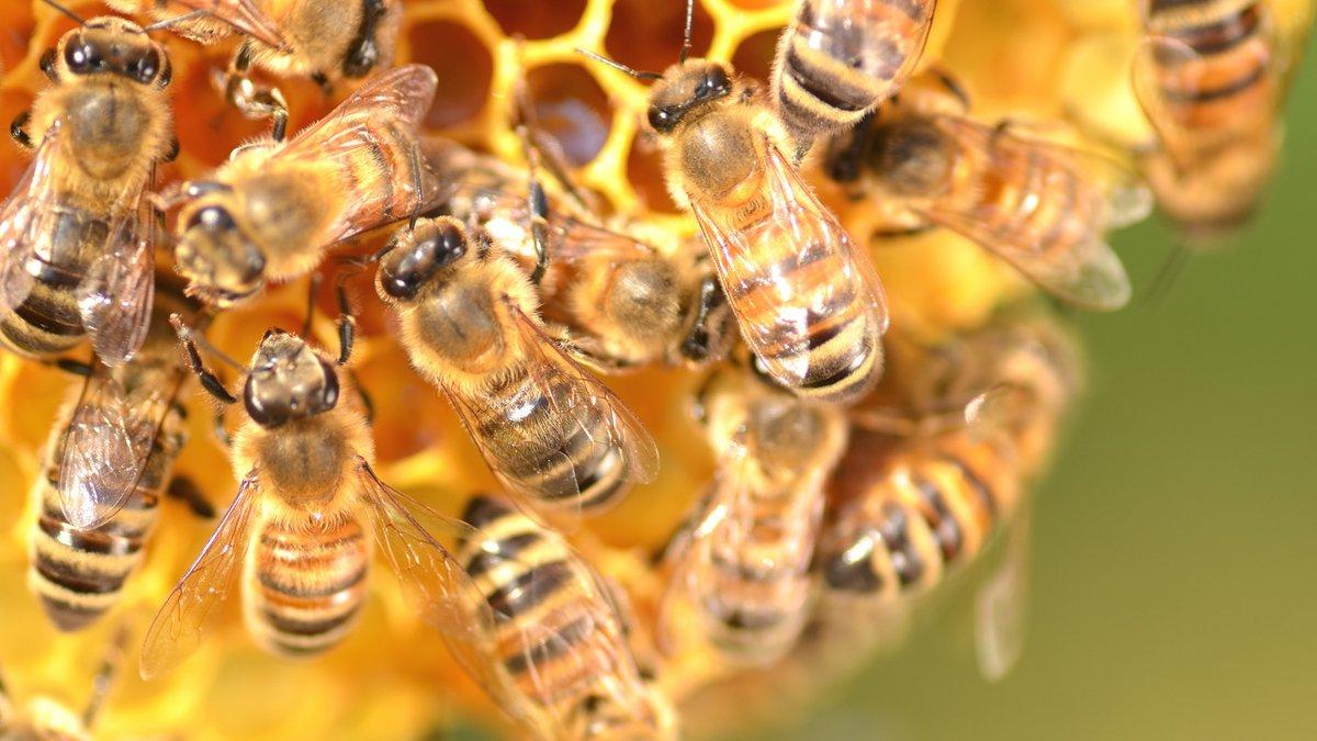 abejas, unam